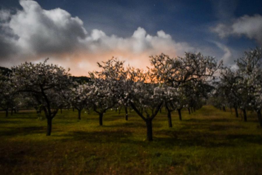 Full Moon Almond Blossom