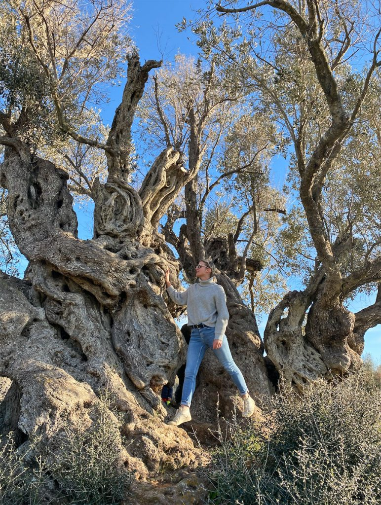 Olive Tree Santa Ines Ibiza